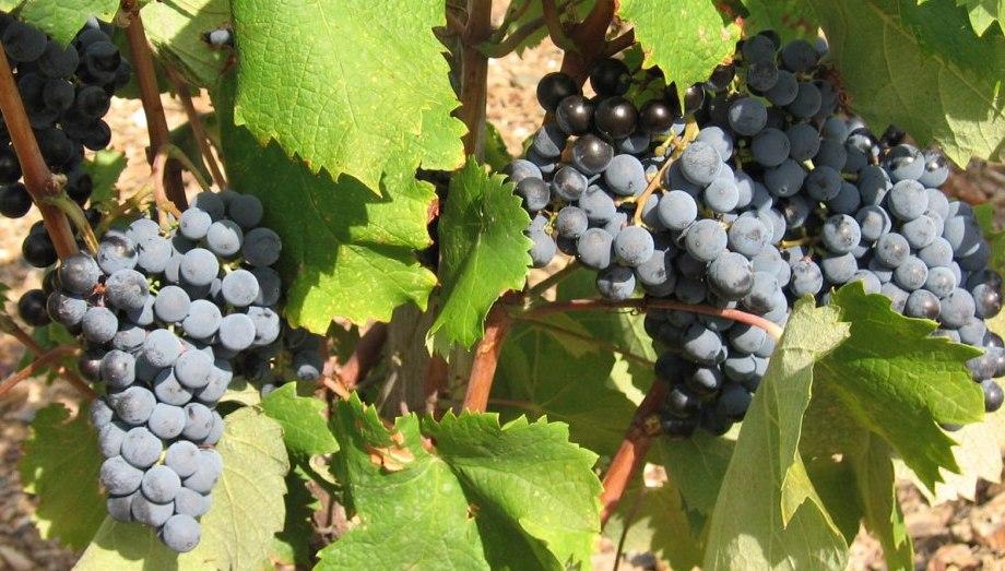 Mourvedre Chateau de Lancyre AOC Coteaux du Languedoc Pic Saint Loup vin pic Saint Loup