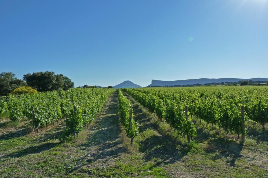 La parcelle de Madame Chateau de Lancyre AOC Coteaux du Languedoc Pic Saint Loupsous la protection du Pic Saint Loup