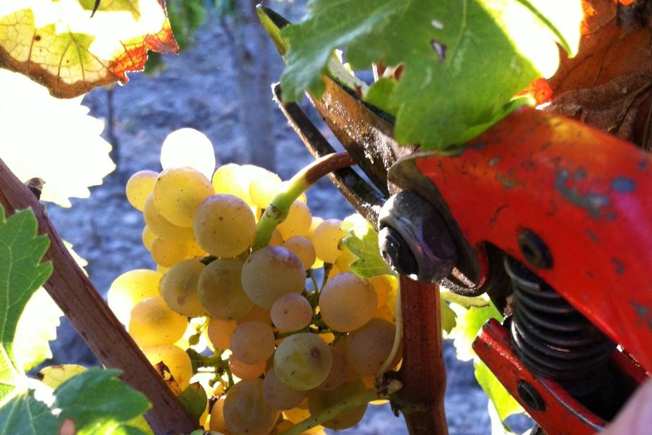 harvesting by hand pic saint loup wine
