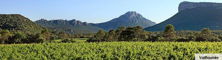 Vignes Valflaunes Chateau de Lancyre AOC Coteaux du Languedoc Pic Saint Loup